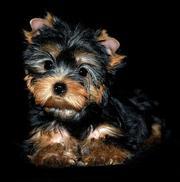 Куплю щенка йоркширского терьера
