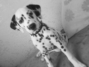 Продам  щенка Далматина