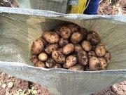 Оптом картофель ,  сорт Невский