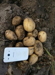 Картофель новый урожай